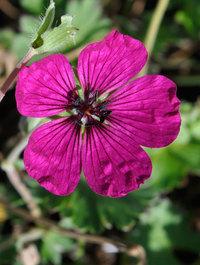 Geranium-jolly-jewel-red2