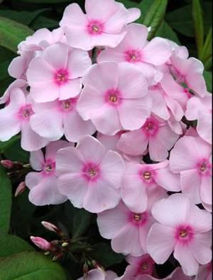 Phlox paniculata 'Sweet Summer Sensation'