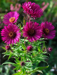 Aster novea-angliae 'September Ruby'