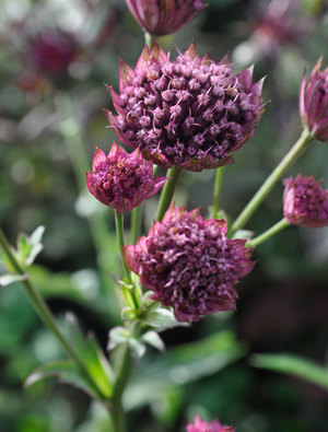 Astrantia major 'Red Joyce'