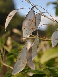 Lunaria-rediviva-seeds1