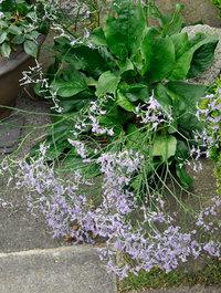 Limonium-platyphyllum
