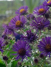 Aster novae-angliae 'Violetta'