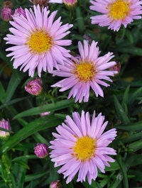 Aster novi-belgii 'Little Pink Beauty'