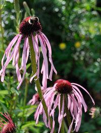 Echinacea-pallida1