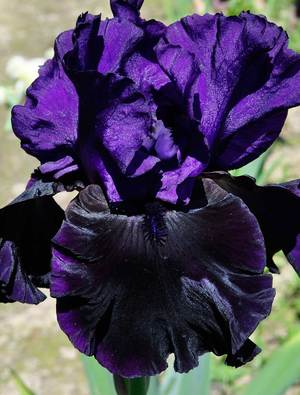 Iris 'Midnight Treat'