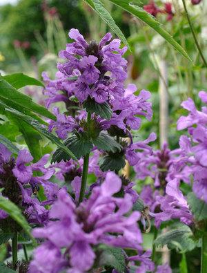 Stachys macrantha 'Rosea'