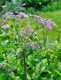 Chaerophyllum-hirsutum-'roseum'4