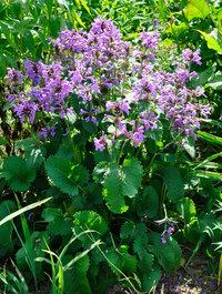Stachys-grandiflora-superba4