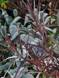 Amsonia-hubrichtii-leaves1