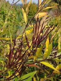 Amsonia-tabernaemontana-salicifolia-leaves
