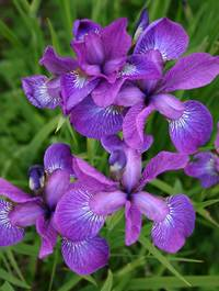 Iris 'Sparkling Rose'