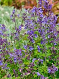 Nepeta-racemosa-blue-wonder-poss