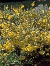 Helianthemum-wisley-primrose1