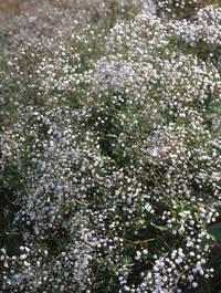 Gypsophila-bristol-fairy