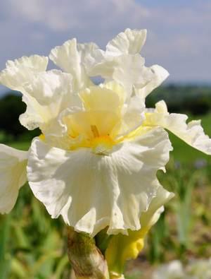 Iris 'Princess Bride'