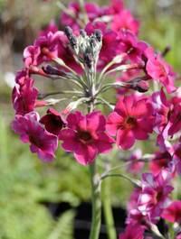 Primula-millers-crimson
