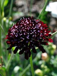 Scabiosa-black-knight