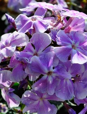 phlox paniculata 39 blue boy 39 claire austin. Black Bedroom Furniture Sets. Home Design Ideas