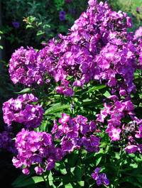 Phlox paniculata 'Sweet Summer Surprise'
