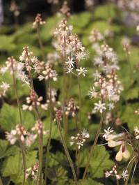 Tiarella-cordifolia