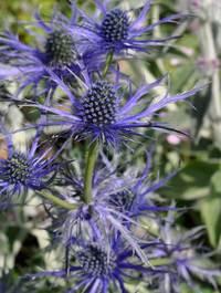 Eryngium-big-blue11