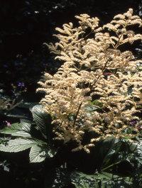 Rodgersia-sambucifolia