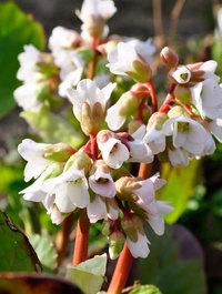Bergenia-bressingham-white3