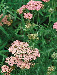 Achillea-salmon-beauty1