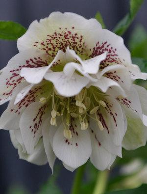 Helleborus x hybridus 'Double Ellen White Spotted'