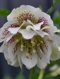 Helleborus-double-ellen-white1