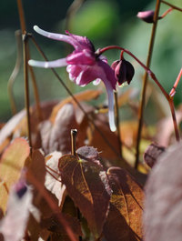 Epimedium-purple-pixie3