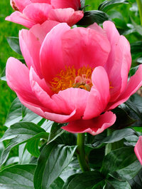 Peony-lovely-rose1