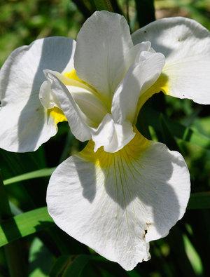 Iris 'Dreaming Yellow'