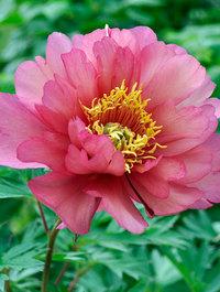 Peony-julia-rose6