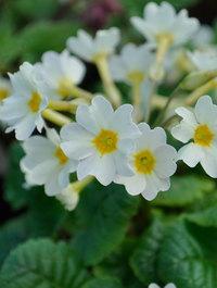 Primula-lady-greer2