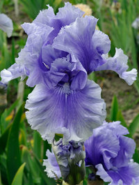 Iris 'Blue My Mind'