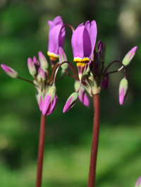 Dodecatheon-meadia