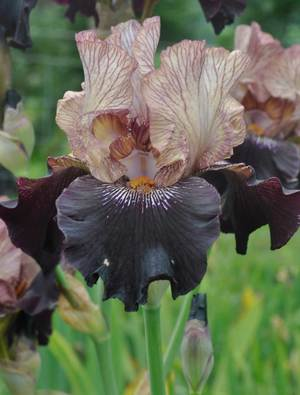 Irises | Claire Austin