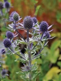 Eryngium-blue-hobbit