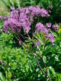 Thalictrum-aquilegiifolium2