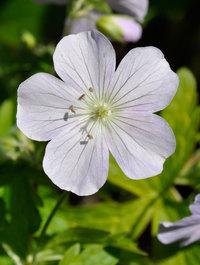 Geranium-maculatum-beth-chatto