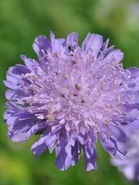 Knautia-avensis1