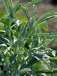 Artemisia-silver-queen