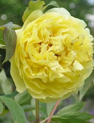 Peony 'Yellow Crown'