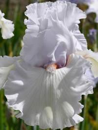 Iris-simply-sensational