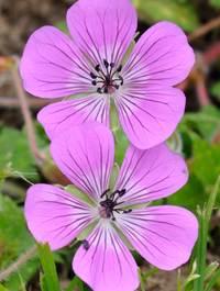 Geranium-rosetta