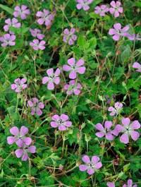 Geranium-rosetta1