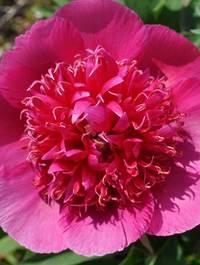 Peony-officinalis-anemoniflora1