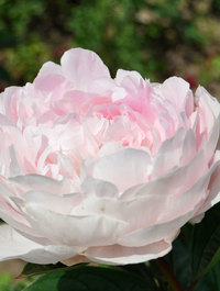 Peony-lady-orchid